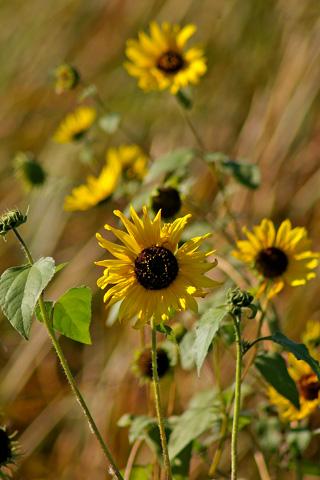 sunflower_fall.jpg